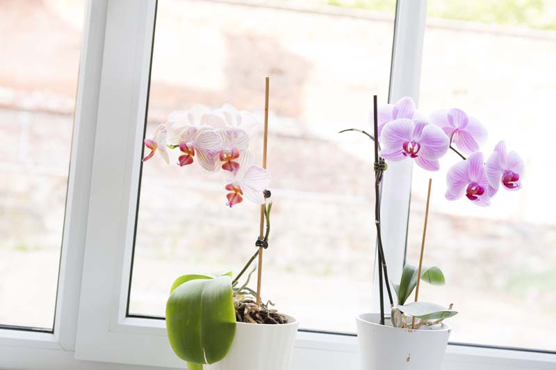 08 Thiede F2A8618 Fensterbank Orchideen